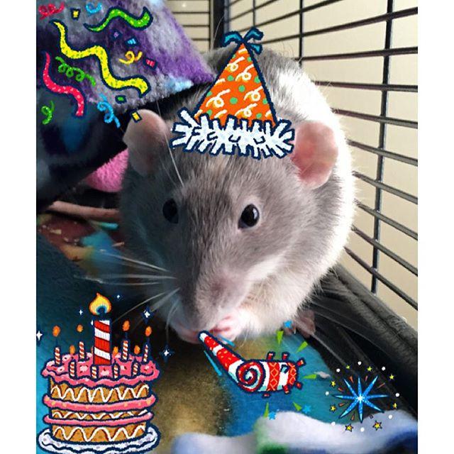 Mr. Bender, my pet rat, in his birthday best!