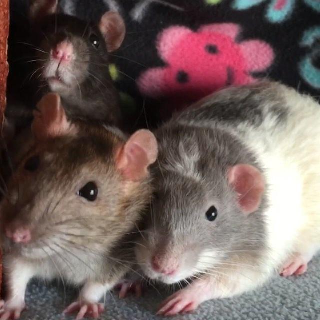 My three pet rats