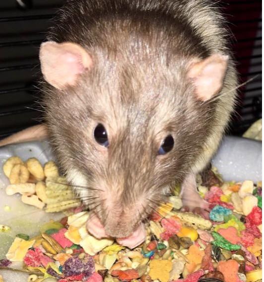 Pet Rat Mylo