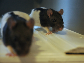 Pet Rat Start-Up: How Much Will It Cost to Buy My Pet Rats and Their Supplies? [Video]