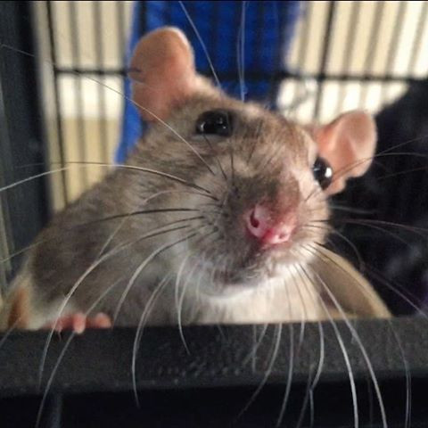 My pet rat Nonnie looking over the cage shelf showing off her beautiful whiskers