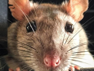 Respiratory Infection in My Pet Rat, Nonnie