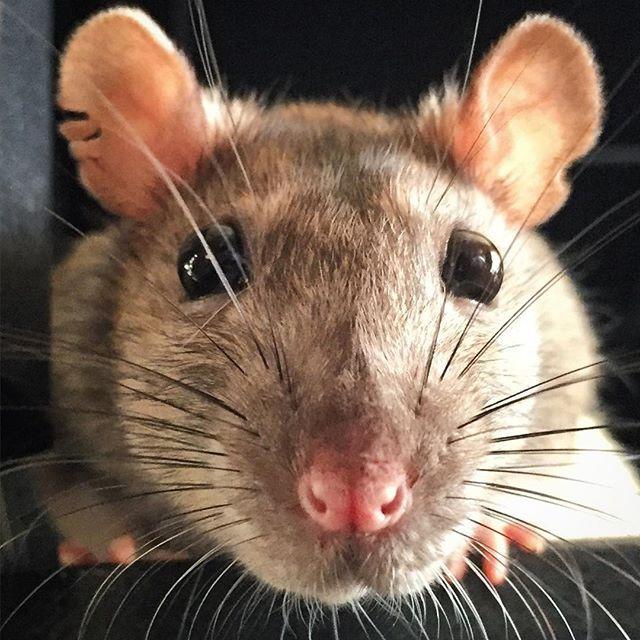Rattie Nonnie is the most wonderful pet rat