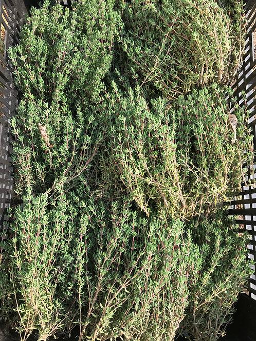 Plant Sale: Thyme