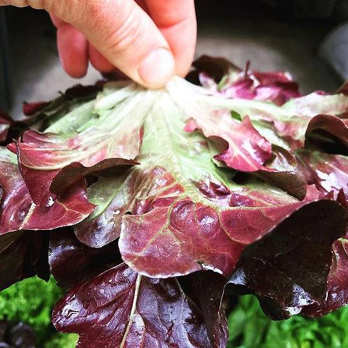 Plant Sale: Lettuce