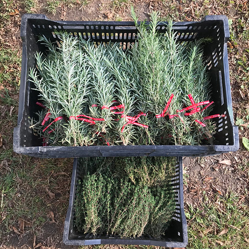 Plant Sale: Rosemary