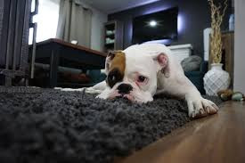 boxer dog lying on area rug