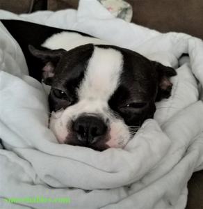 Boston terrier sleeping in blanket