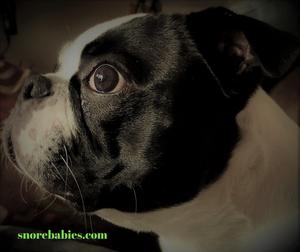 Boston terrier side profile