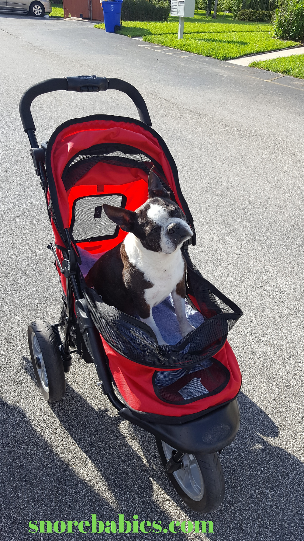 Senior Boston terrier in dog stroller
