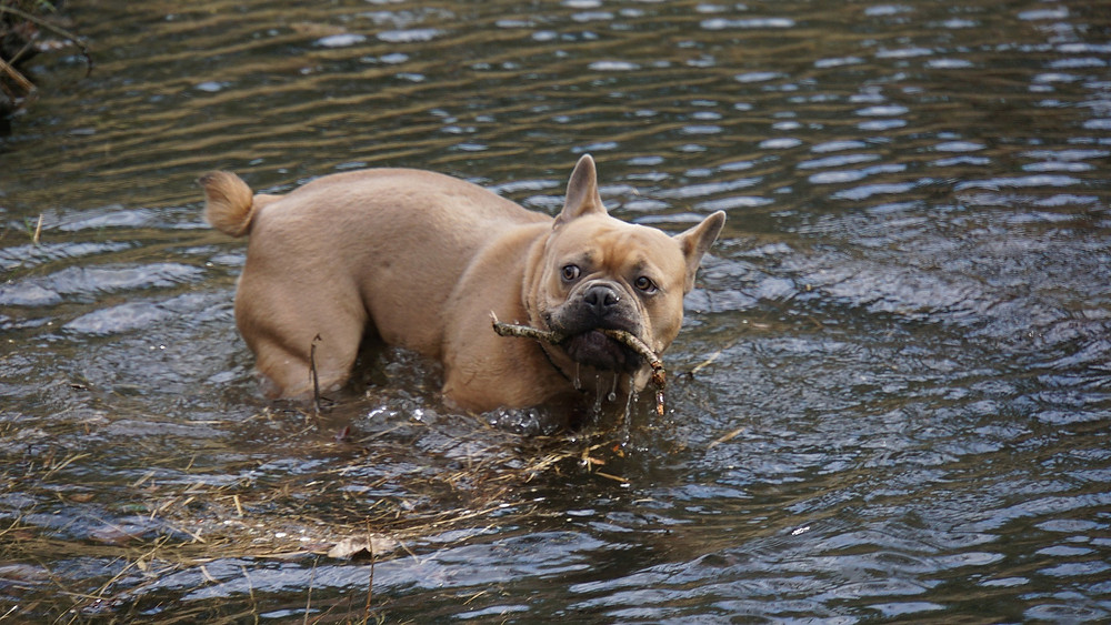 French bulldog in water