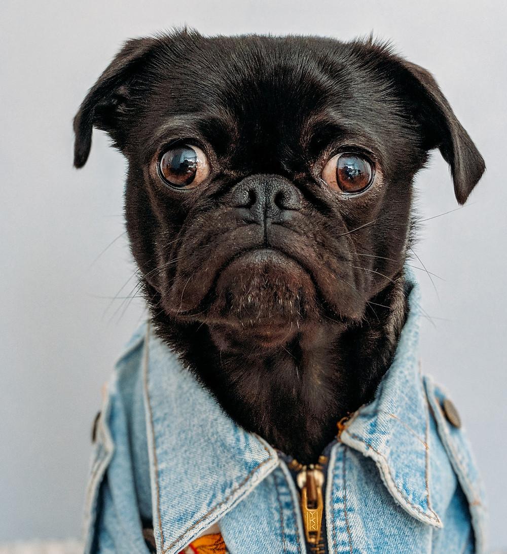 Pug dressed in denim shirt