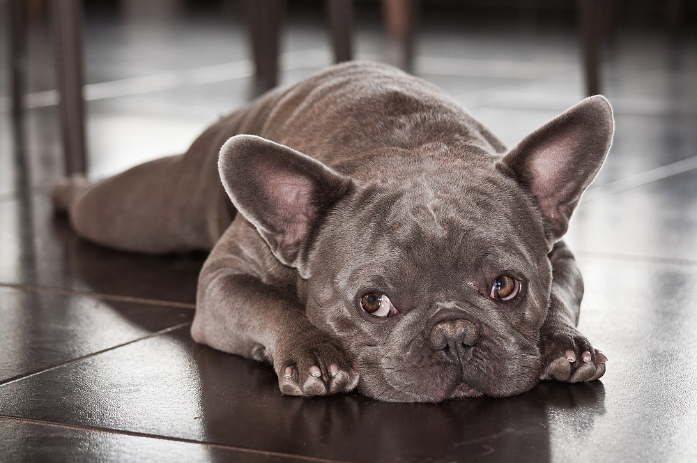 French bulldog lying under dining room table