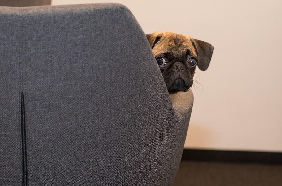 Pug peeking around chair