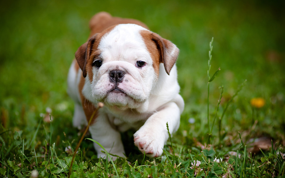 Bulldog puppy in grass