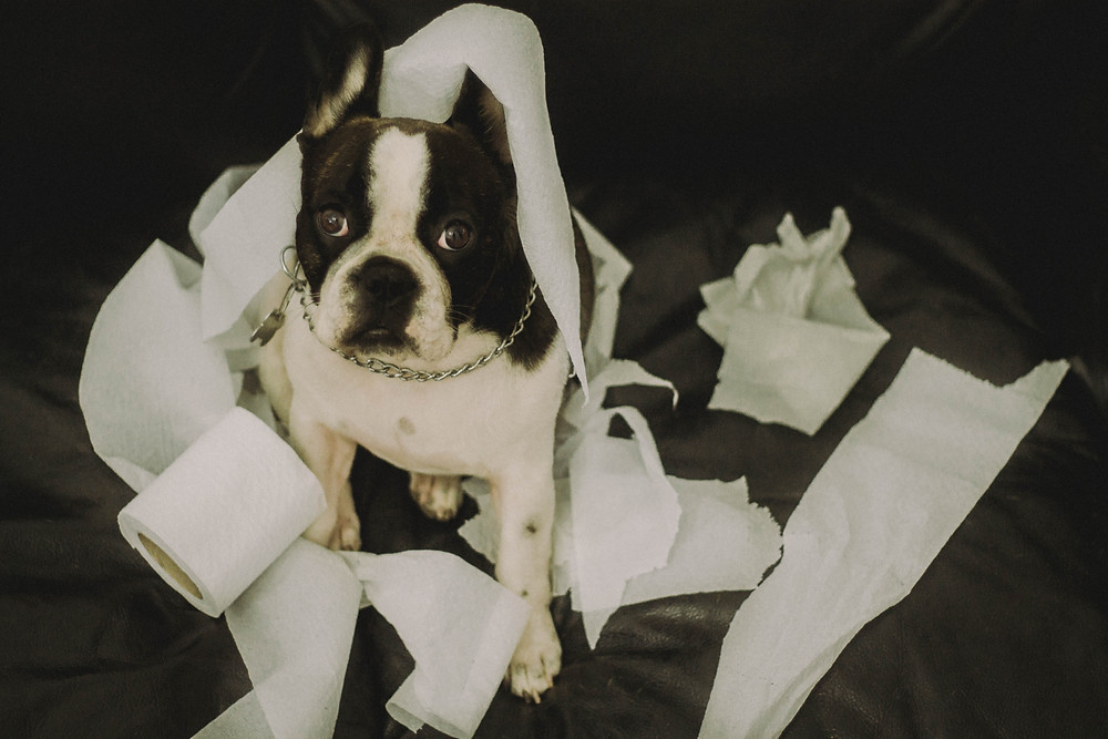 Boston Terrier lying among toilet paper