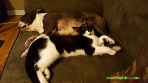 Boston terrier and tuxedo cat sleeping together