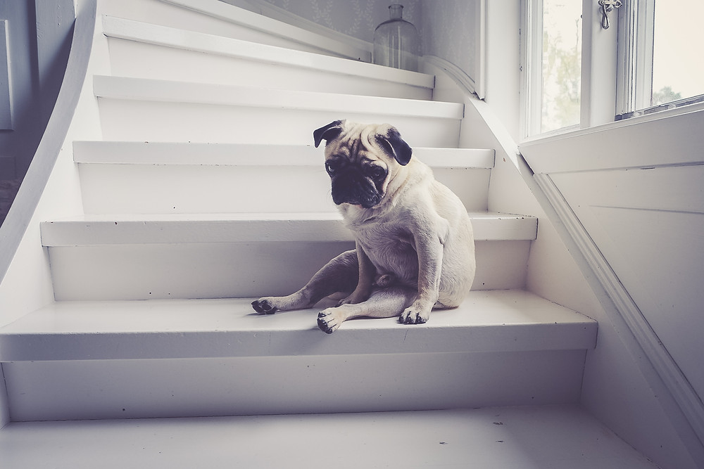 pug sitting on steps