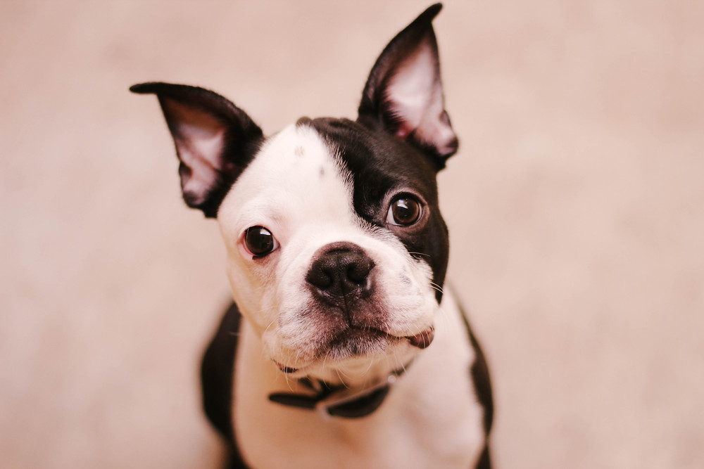 Boston terrier puppy staring at camera