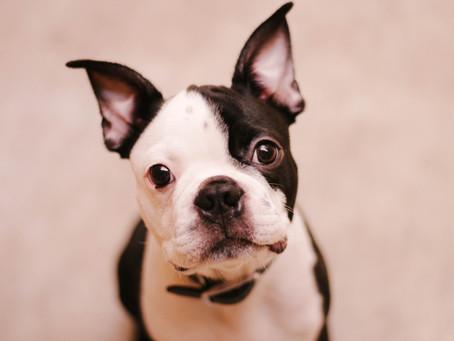 5 Crazy Behaviors of Boston Terriers