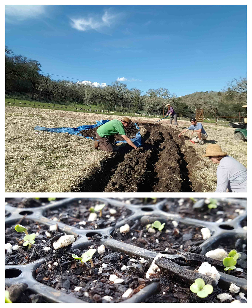 Planting asparagus in the Aletheia Garden and new sprouts in the greenhouse