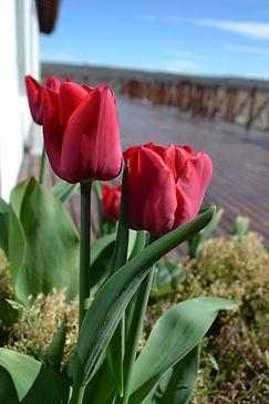 rosas (1).jpg