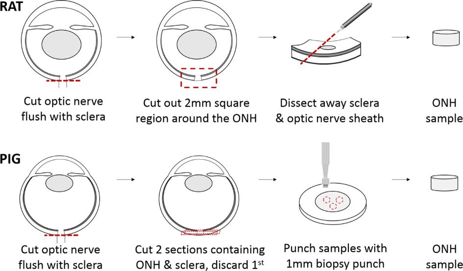 Compressive Mechanical Properties of Rat and Pig Optic Nerve Head