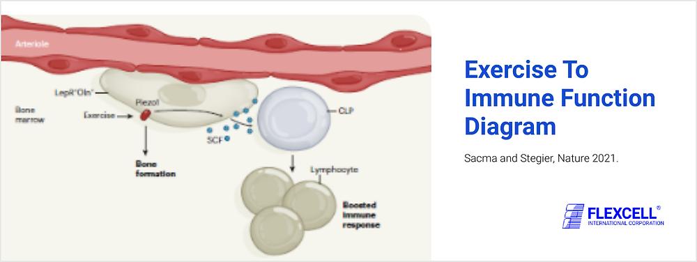 肺損傷(ARDS、COPD、COVID-19)invitroモデル