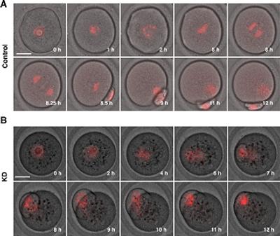 細胞観察-Failure of Cytokinesis & Extrusion of Polar Bodies