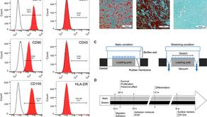 幹細胞での機械的伸展の効果に関する論文のご紹介