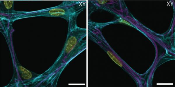 ドライビング・セルラー応答 細胞外マトリックス特性は、細胞拡張や、接着斑、移動と脈管化に影響を及ぼすためのコントロールが可能。