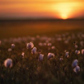 Pink Poppies at Sundown
