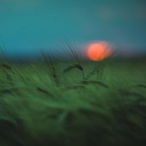 Soft Barley