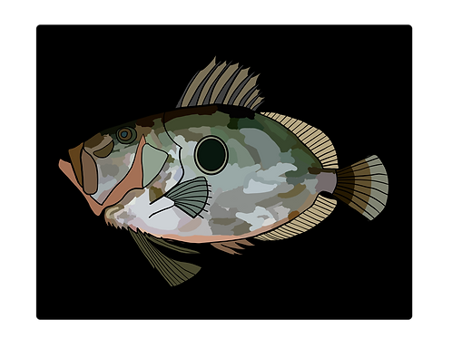 John Dory on Black Photo Block