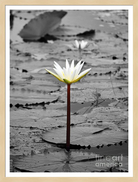 Water Lilly Flower Cozumel