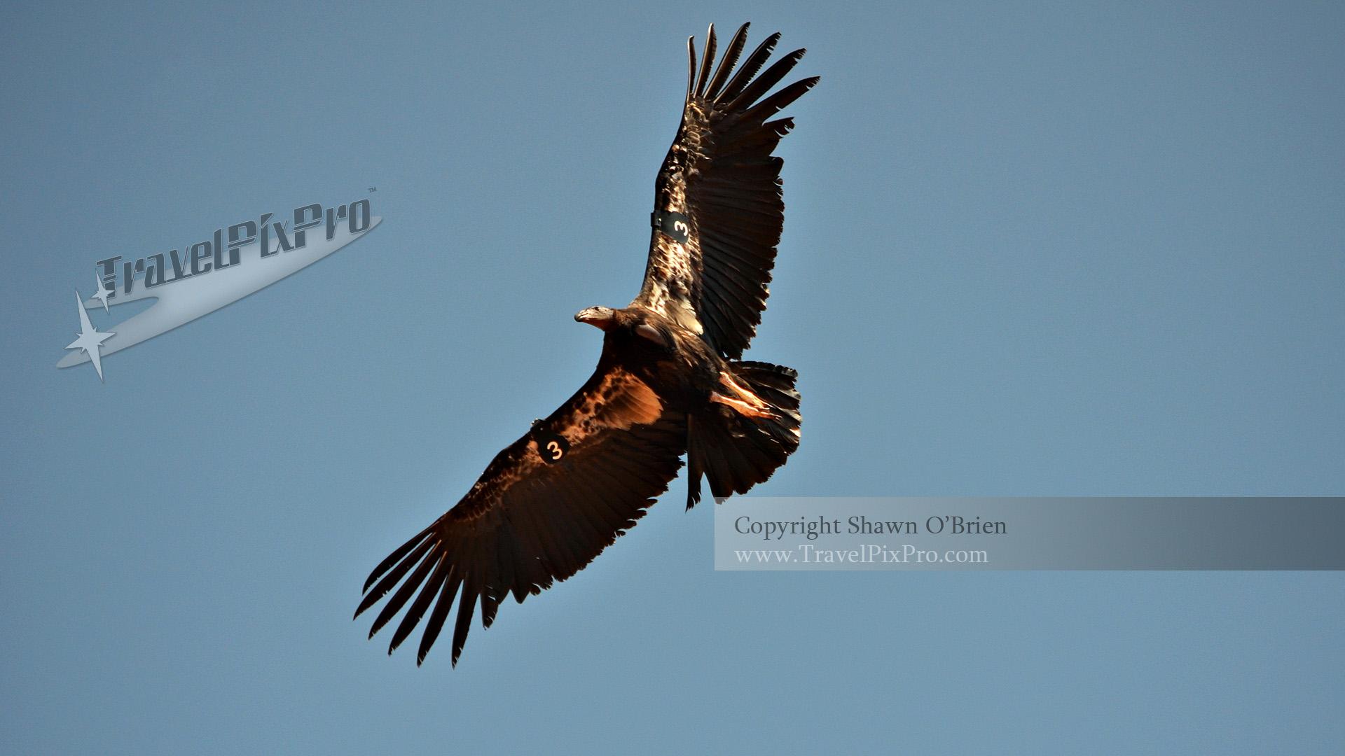 Grand Canyon California Condor