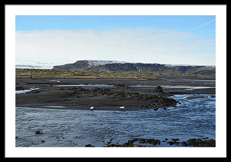 white-whooper-swans-on-bank-of-volcanic-