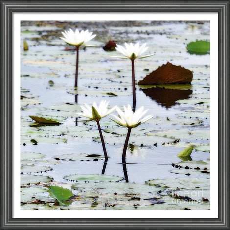 Four Water Lily Blooms