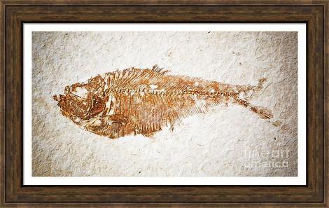 Diplomystus Fossil Fish