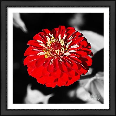 Vibrant Red Zinnia Flower