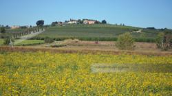 Italian Sunflower Field