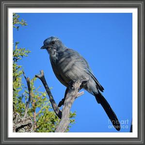 Mountain Bluebird Closeup