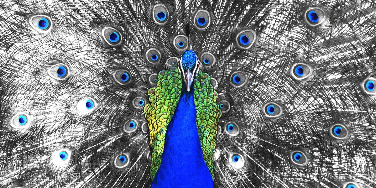 Peacock Eyes Color Splash