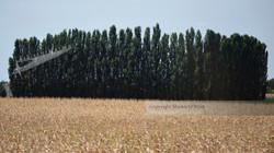 Italian Grain Field Landscape