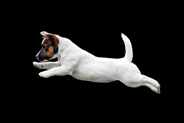 white puppy Jack Russell Terrier jumping