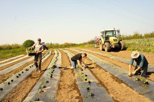 Plantation de courgettes