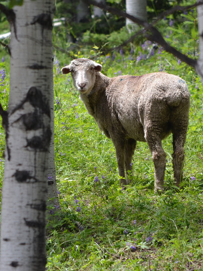 Alpine Sheep