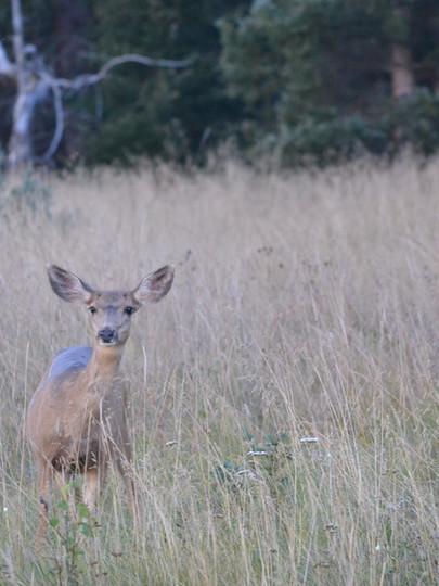 Deer at Arrowhead in Gunnison Country