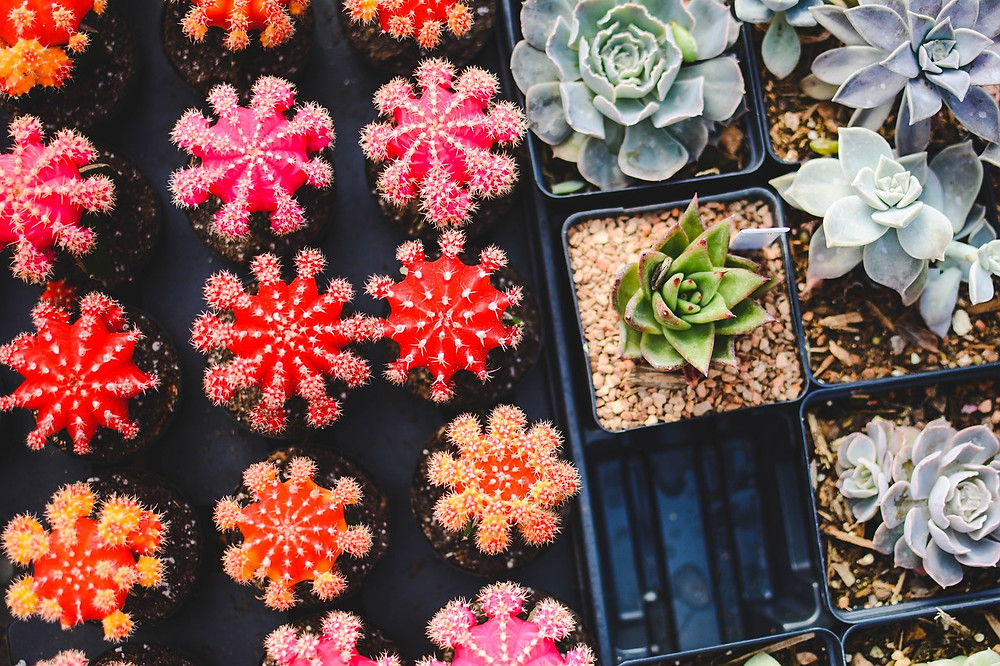 Cactii and other succulent plants