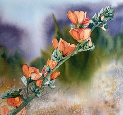 Apricot Desert Mallow